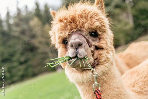 Poster Lama Funny alpaca with mouth full of grass