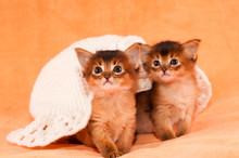 Two Somali Kittens Under White...