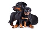 Fototapeta Animals - Dwa psy mały i duży