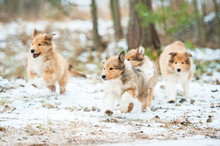 Litter Of Rough Collie Puppies Running Outdoors In Winter