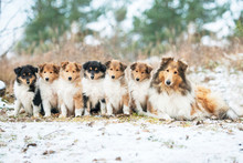Litter Of Rough Collie Puppies With Mother Sitting Outdoors