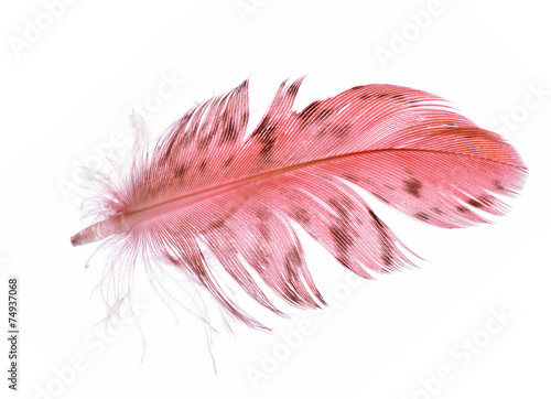 single spotted red feather on white