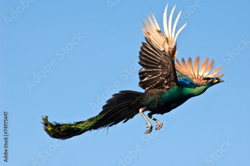 Poster Paon Peacock flying