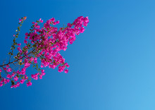 Pink Bougainvillea Against The Sky