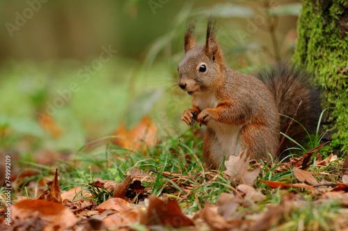 wiewiorka-w-lesie