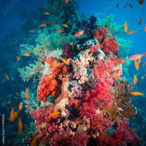 Wibrujący różowy miękki koral (Dendronephthya hemprichi)