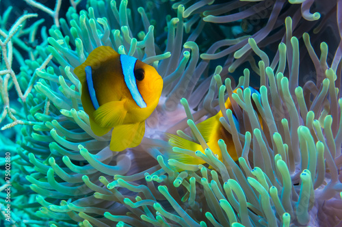 Papiers peints Recifs coralliens Clownfish and anemone on a tropical coral reef
