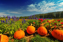 Flower In Garden Decorate By Pumpkin With Moutain Background