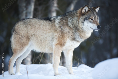 Fotobehang Wolf Wolf standing in the cold winter forest