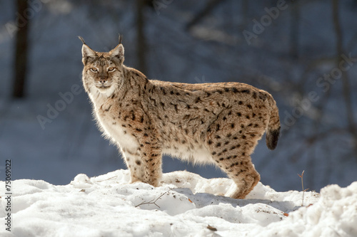 Papiers peints Lynx Lynx in the snow background while looking at you