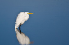 Great Egret Wading In Shallow Water