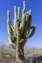 Cactus Tree In Tafi Del Valle,...
