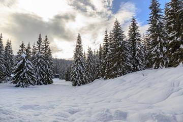 Fototapeta Snowy winter forest