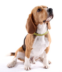 Fototapeta Pies Beagle dog isolated on white
