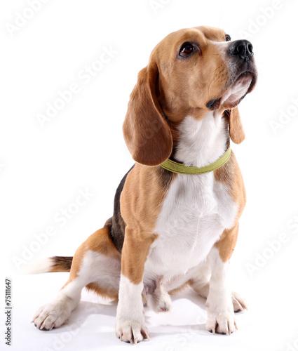 Beagle dog isolated on white - 75111647