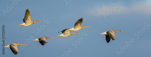 Flock of Greylag Geese (Anser anser) in flight. Canvas Print