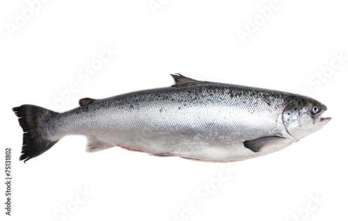 Photo Stands Fish Whole Scottish salmon fish isolated on a white studio background