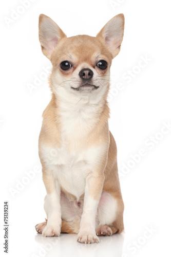 Stampa su Tela Chihuahua