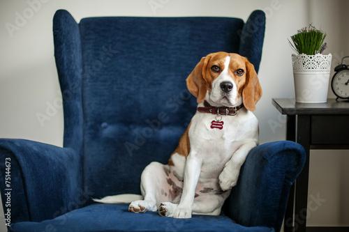 Fototapeta Funny beagle dog sitting in the chair like a boss obraz