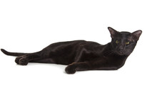 Oriental Black Cat Isolated Ov...