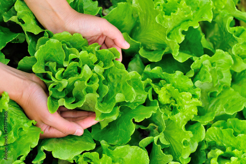 Fototapeta picking lettuce plants in vegetable garden  obraz
