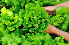 Picking Lettuce Plants In Vege...