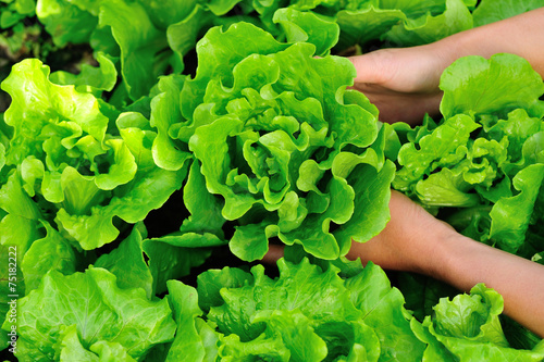 Fototapeta picking lettuce plants in vegetable garden