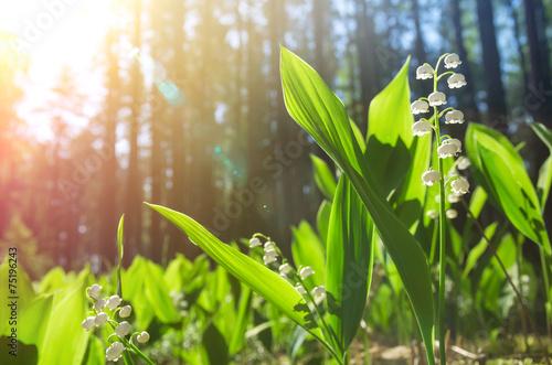 kwitnaca-konwalie-w-slonecznym-lesie