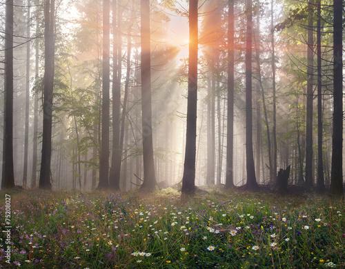 Fototapeten Wald Magic Carpathian forest at dawn