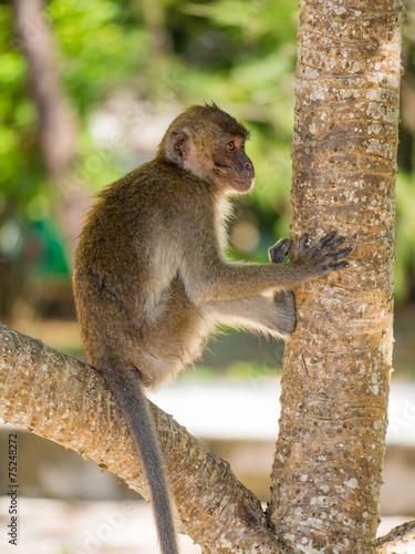 Poster Oceanië Monkey on the beach in Thailand