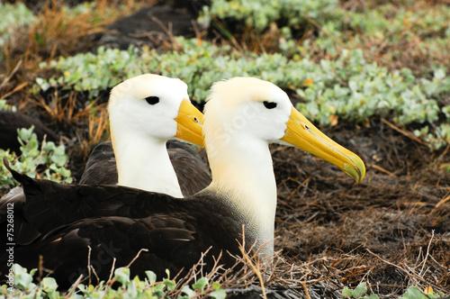 Fotografía  waved albatross
