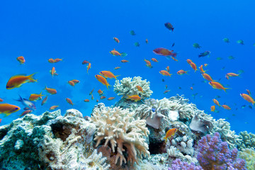 Fototapetacoral reef  with exotic fishes anthias in  tropical sea
