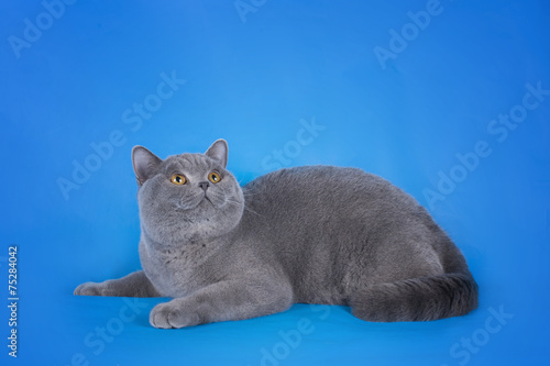 Fotografie, Obraz  British shorthair cat on a blue background isolated