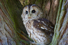 Tawny Owl In Tree