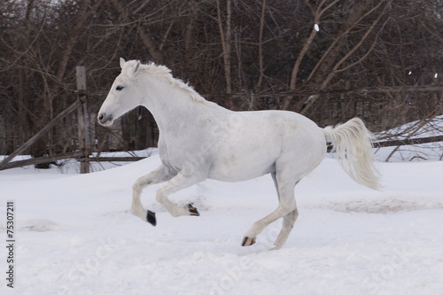 Fototapety, obrazy: White stallion galloping on a cold winter day