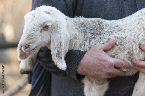 Fototapeta lamb with shepherd