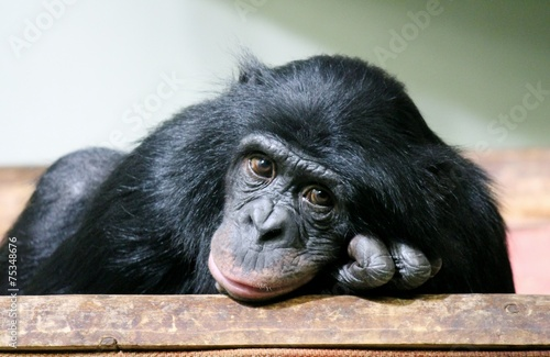 Foto op Canvas Aap monkey chimp chimpanzee monkey ape (Pan troglodytes or common chimpanzee) chimp looking sad and thoughtful