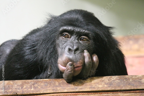 Poster de jardin Singe chimp chimpanzee monkey ape (Pan troglodytes or common chimpanzee) chimp looking sad and thoughtful stock photo, stock photograph, image, picture,