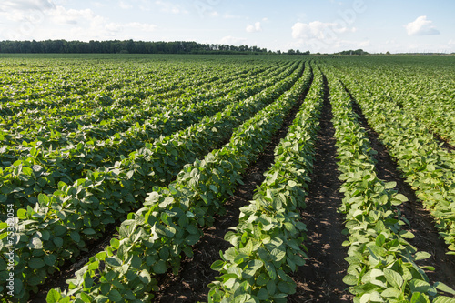 Foto op Plexiglas Cultuur Rows of young soybean plants