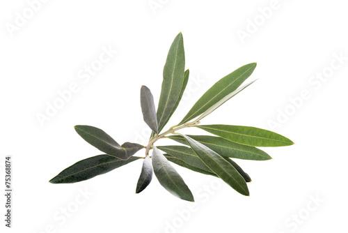 Papiers peints Oliviers Rama de olivo aislada sobre un fondo blanco