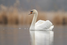 Swan In Love And Nice Background