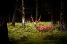 Whitetail Deer Buck Standing I...