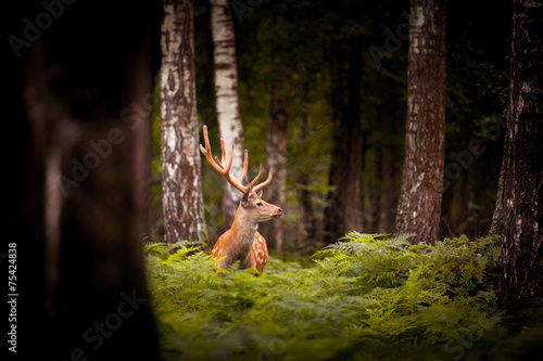 Foto op Canvas Hert Whitetail Deer Buck standing in a woods