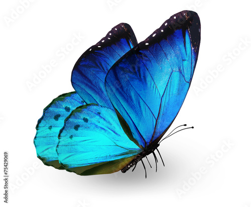 Canvastavla  Blue butterfly , isolated on white