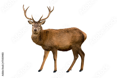 Foto op Canvas Hert Red deer