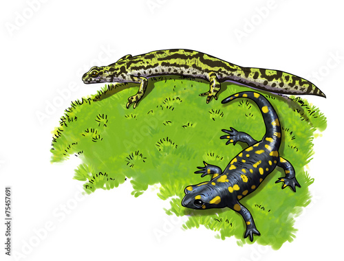 Cuadros en Lienzo Tailed amphibians, newt and salamander