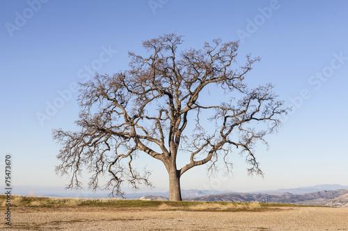 Valokuva  Lone Oak