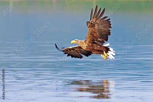 Poster Eagle Seeadler