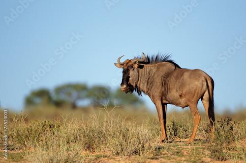 Staande foto Struisvogel Blue wildebeest (Connochaetes taurinus), Kalahari desert