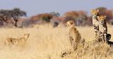 Fototapeta Sawanna - Cheetah cubs on termite mount
